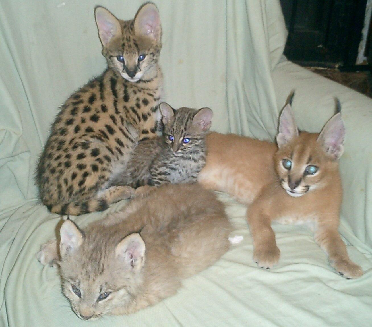 Lynx Pet Cats