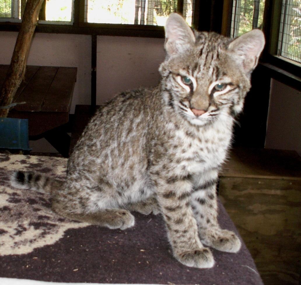 Bobcat pet - photo#14