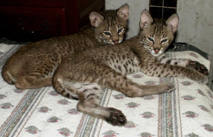 Bobcat Kittens For Sale
